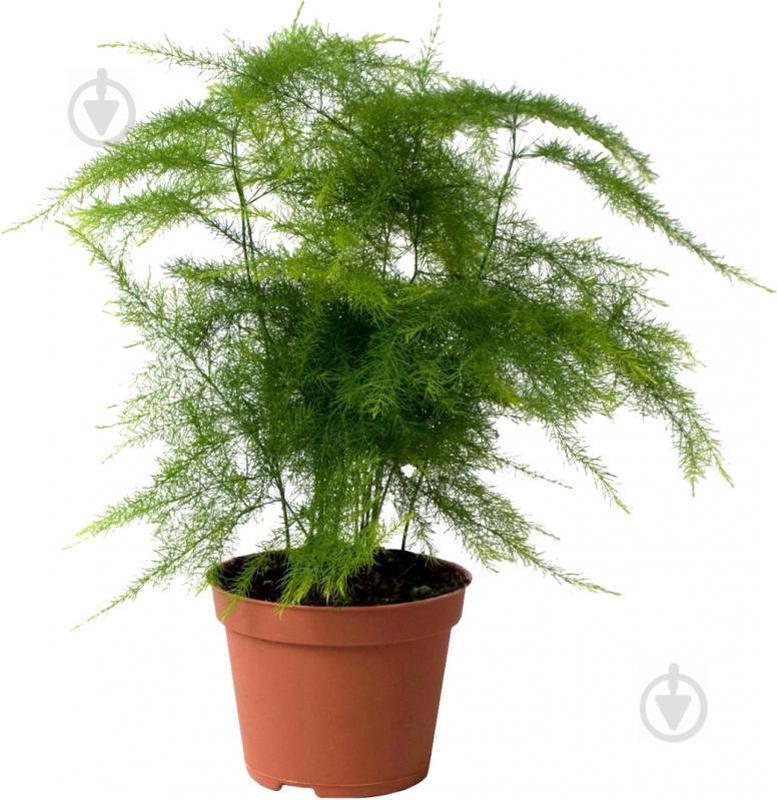 Растение Аспарагус d12 h35