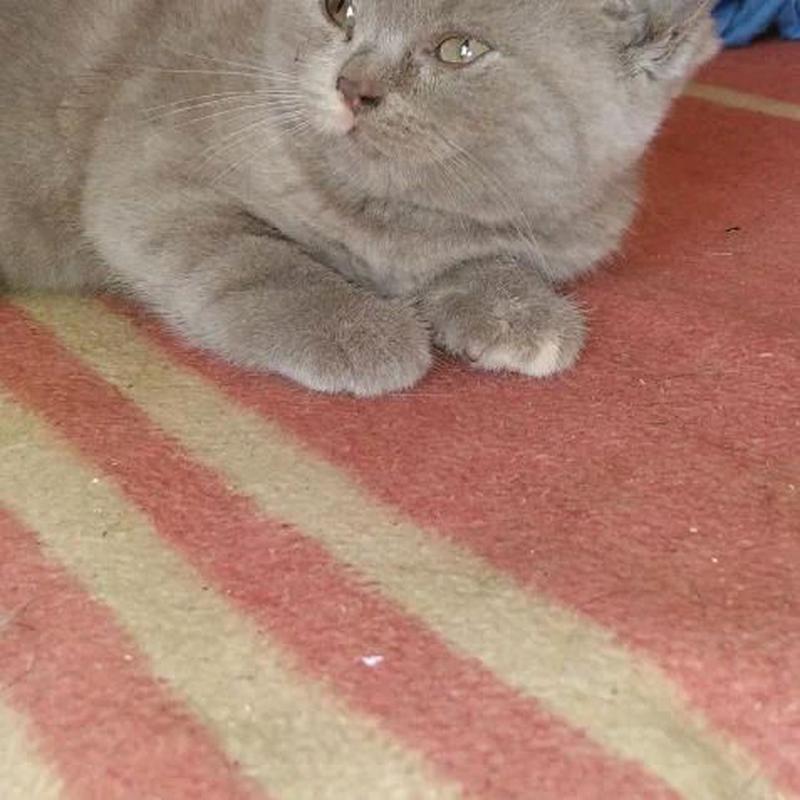 Продам алиментного котенка девочку шотландская прямоухая