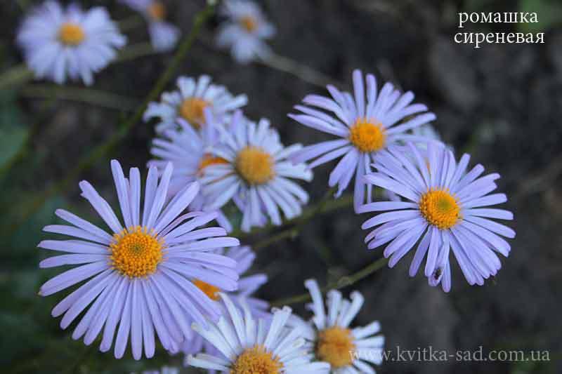 Ромашка садовая. 3 сорта - Фото 3