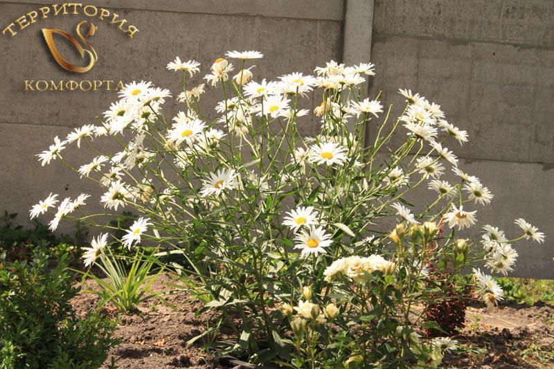 Ромашка садовая. 3 сорта - Фото 5