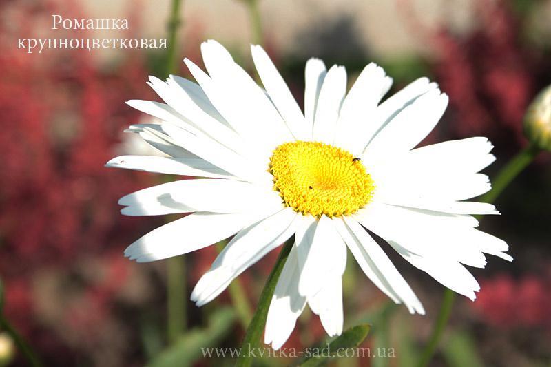 Ромашка садовая. 3 сорта - Фото 7