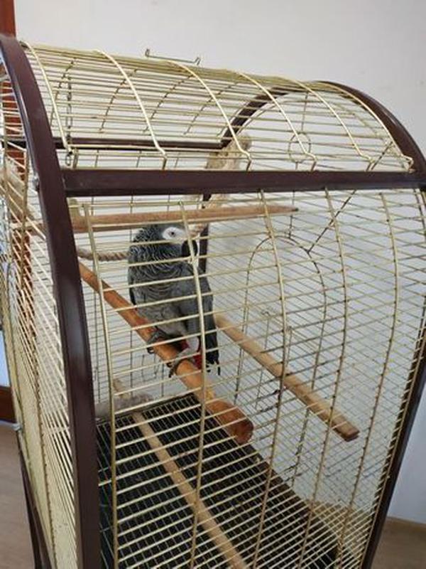 Попугай Жако - Фото 4