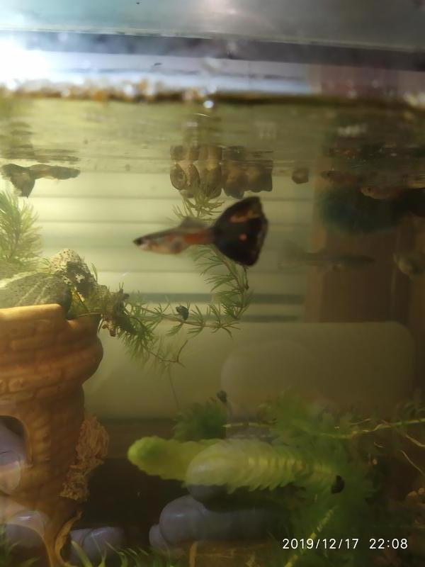 Рыбки Гуппи - Фото 8