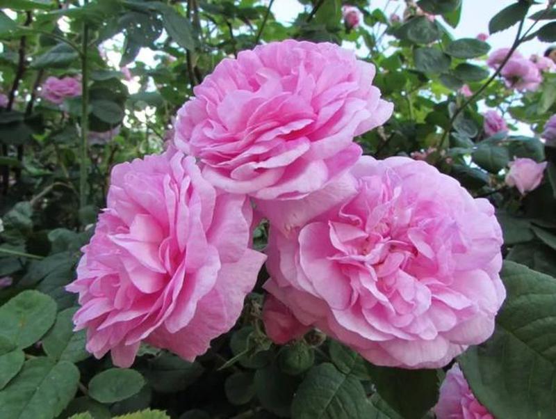 Роза чайная Чайная роза
