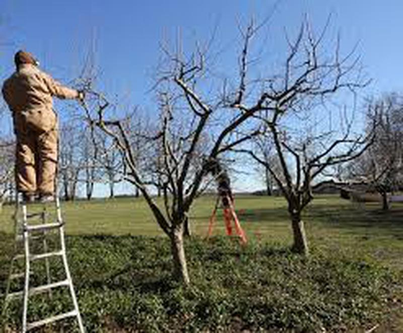 Обрезка сада. Обрезка деревьев. Услуги садовника. Уход за газоном - Фото 2