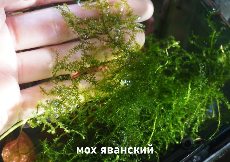 Аквариумные растения - Мох Яванский (фото мои)