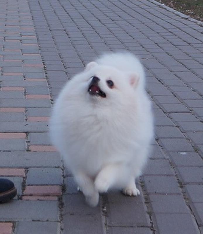 Гарненький та біленький хлопчисько шпіц, готовий до переїзду - Фото 5