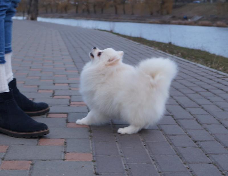 Гарненький та біленький хлопчисько шпіц, готовий до переїзду - Фото 8
