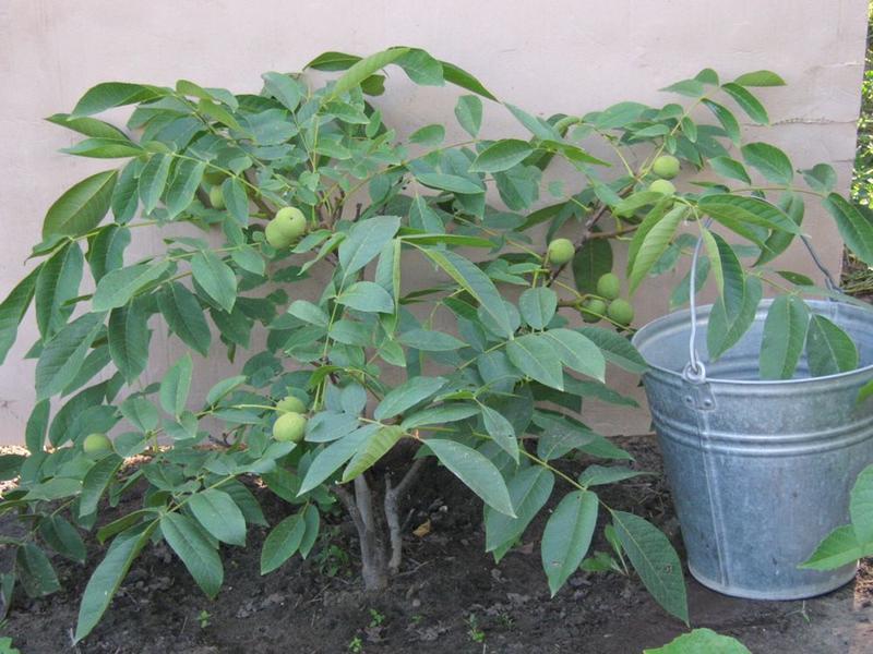 Саженцы скороплодного ореха - Фото 2