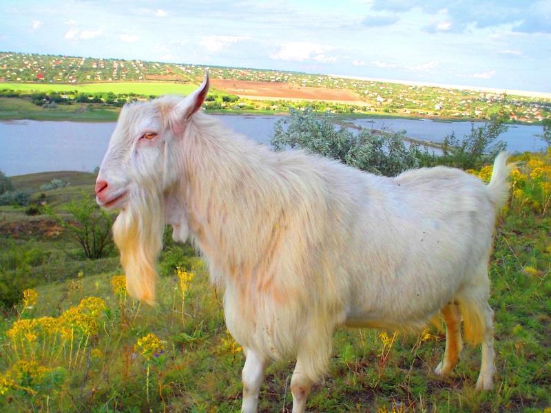 Продаются козлята зааненской породы