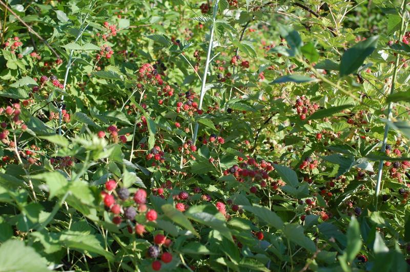 Саженцы малины Кумберленд - Фото 3
