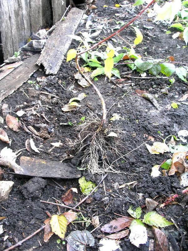 Саженцы малины Кумберленд - Фото 4