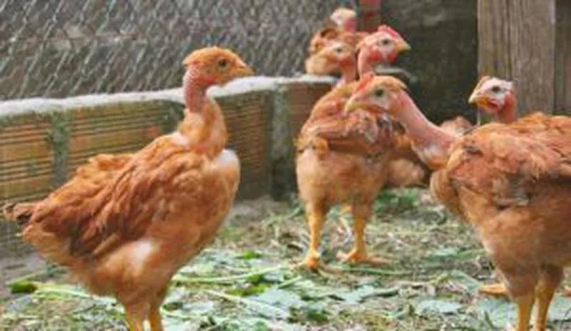 Кури підрощені породи Мастер Грей, Ред Бро(Іспанка, Індокурка)