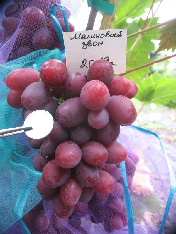 саженцы винограда в новосибирске фото телефону, наши