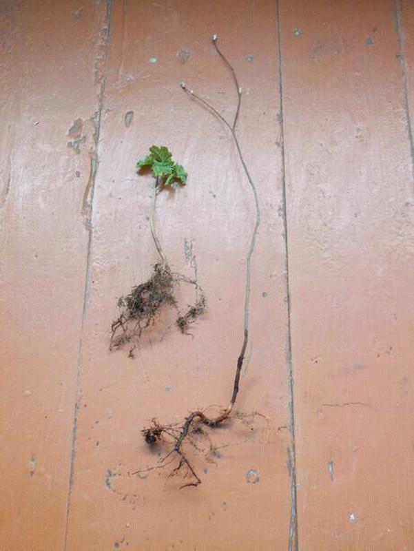 Бариня ягода, розсада. Ірга - Фото 6