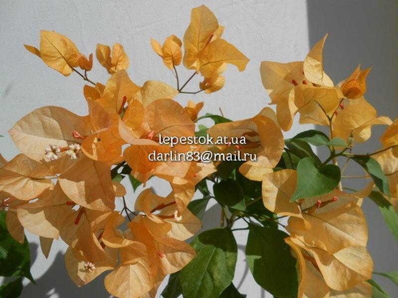 Бугенвиллия желтая