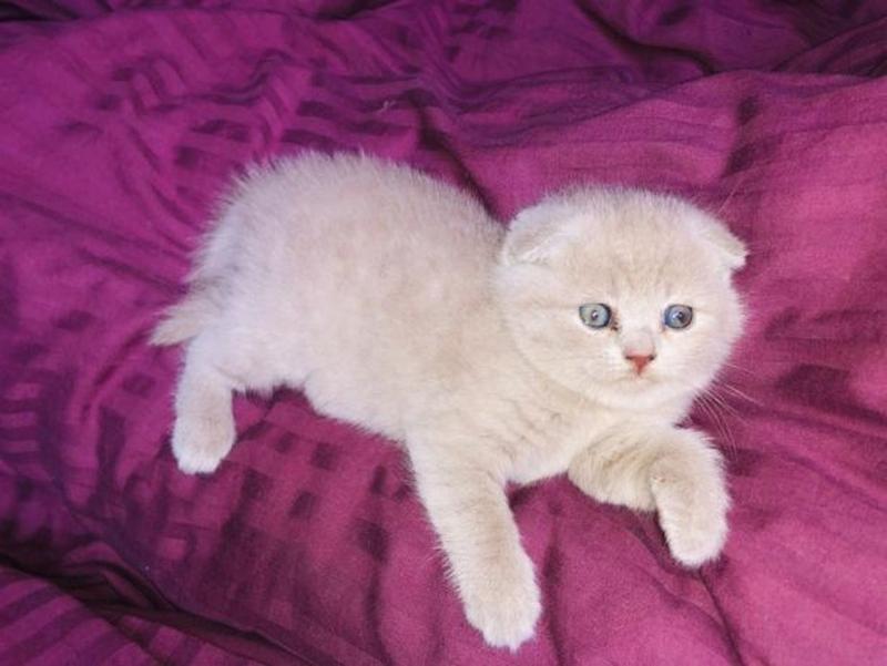 Продаються потішні,чистокровні,шотландські кошенята!