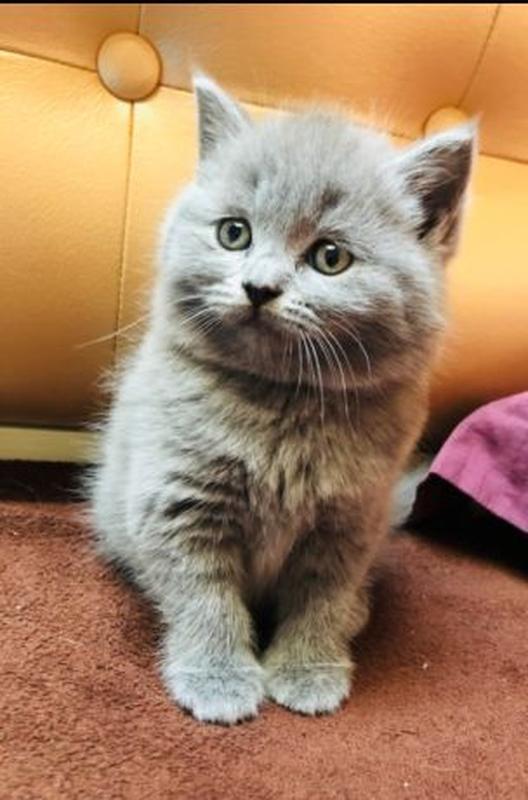 Продаються потішні,чистокровні,шотландські кошенята! - Фото 2