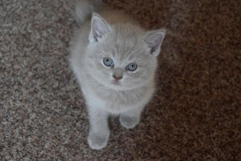 Продаються потішні,чистокровні,шотландські кошенята! - Фото 3