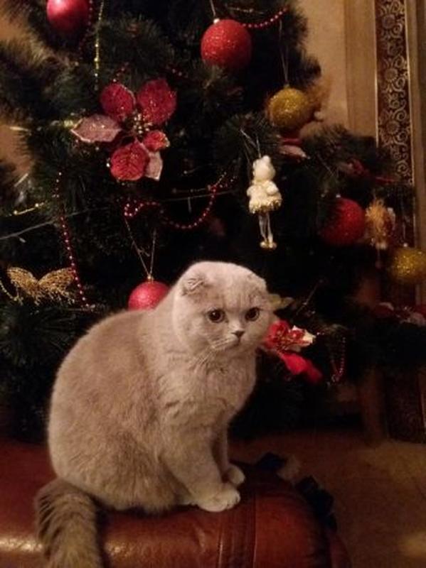 Продаються потішні,чистокровні,шотландські кошенята! - Фото 5