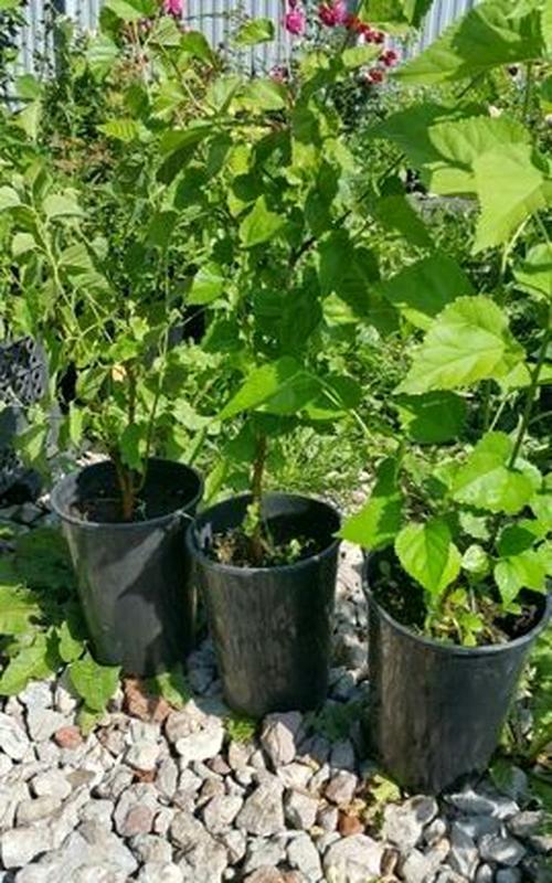 Саженцы шелковицы черной - Фото 2