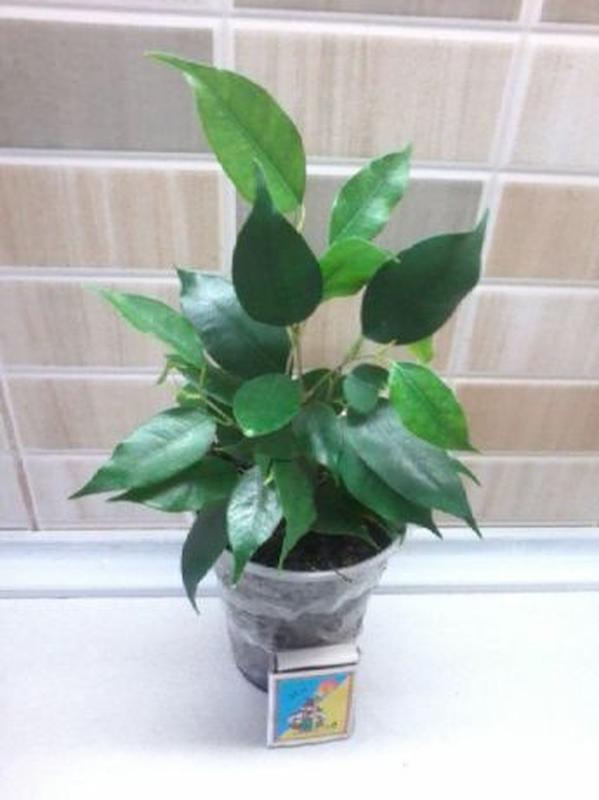 Фикус бенжамина, пышный куст из трех растений.Есть с пестрыми ...