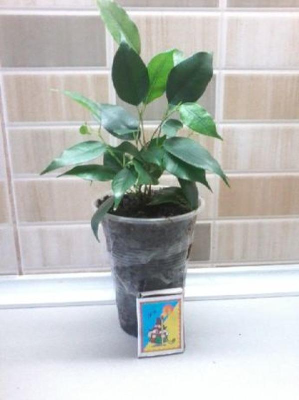 Фикус бенжамина, пышный куст из трех растений.Есть с пестрыми ... - Фото 2