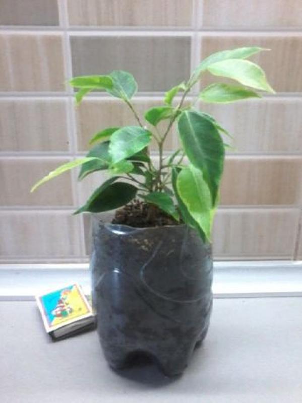 Фикус бенжамина, пышный куст из трех растений.Есть с пестрыми ... - Фото 4