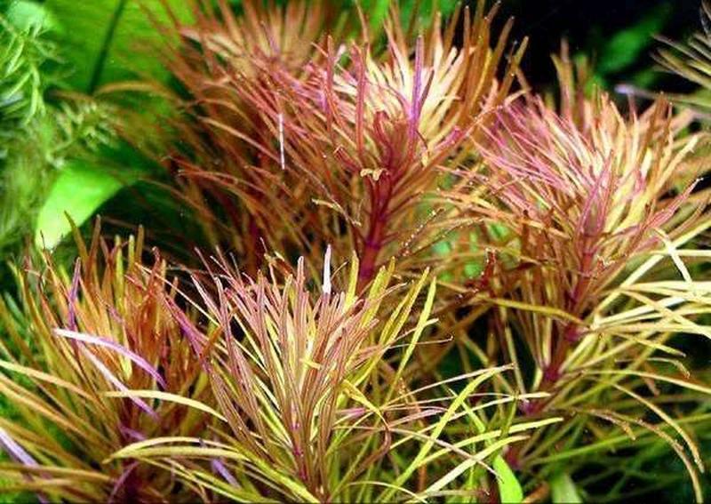 Эустералис стеллата. Аквариумные растения