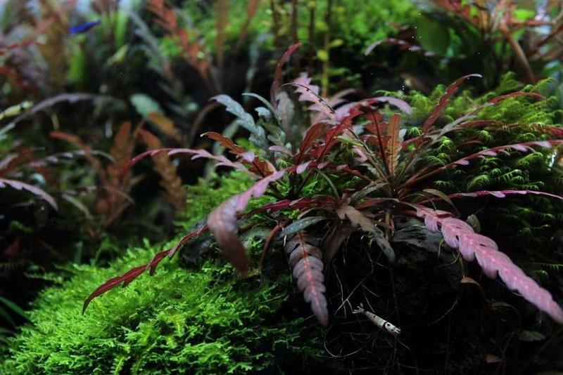 Гигрофила пиннатифида. Растения для аквариума - Фото 3