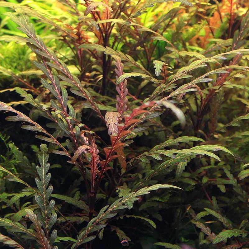 Гигрофила пиннатифида. Растения для аквариума - Фото 4