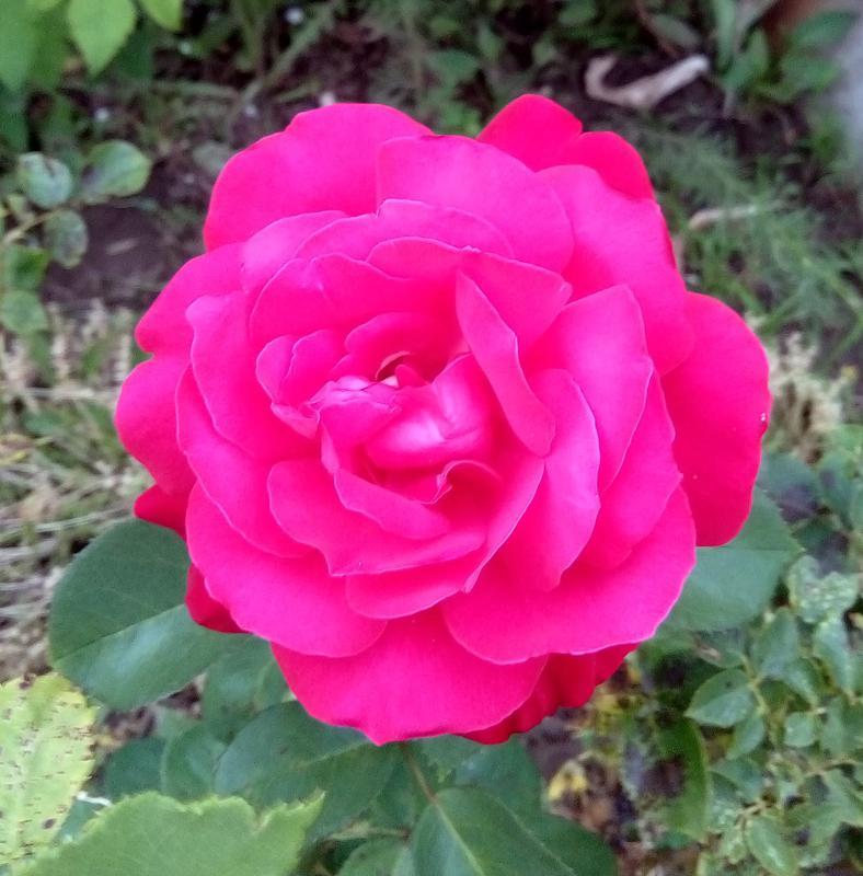 Роза малиновая - Фото 2