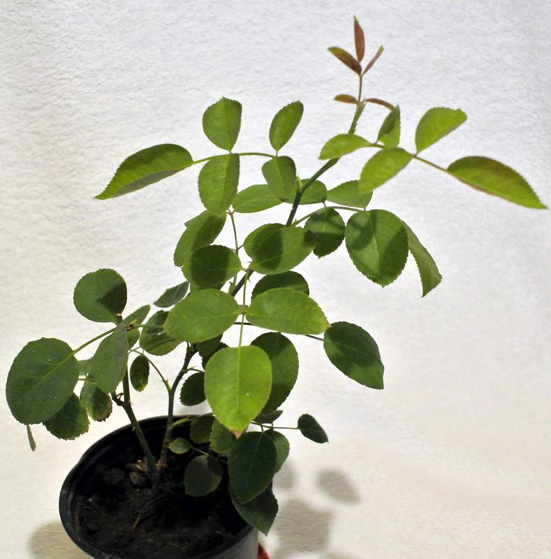 Роза малиновая - Фото 3