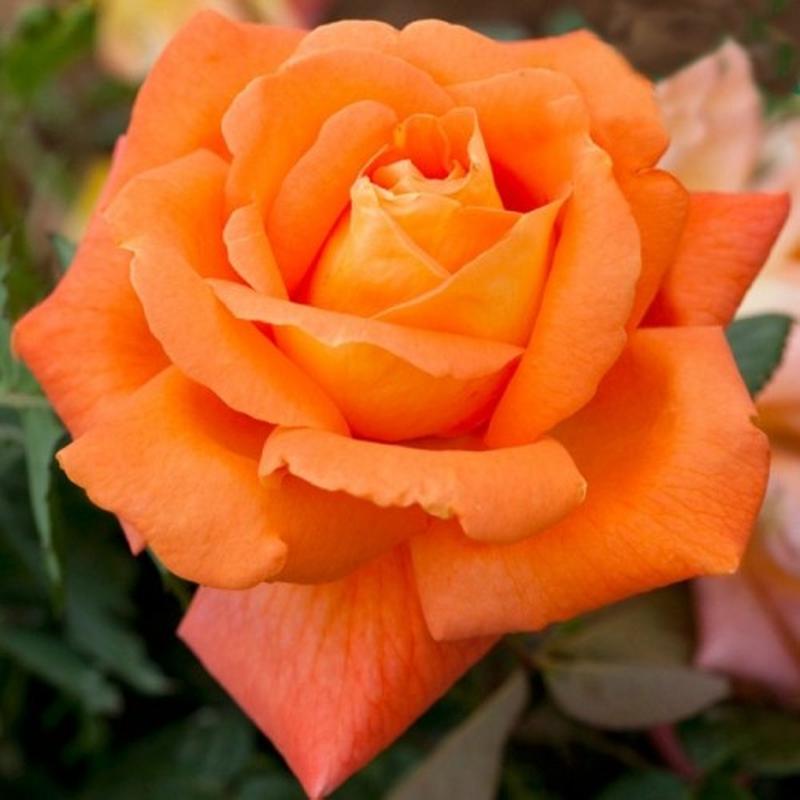 Саженцы роз - Фото 4