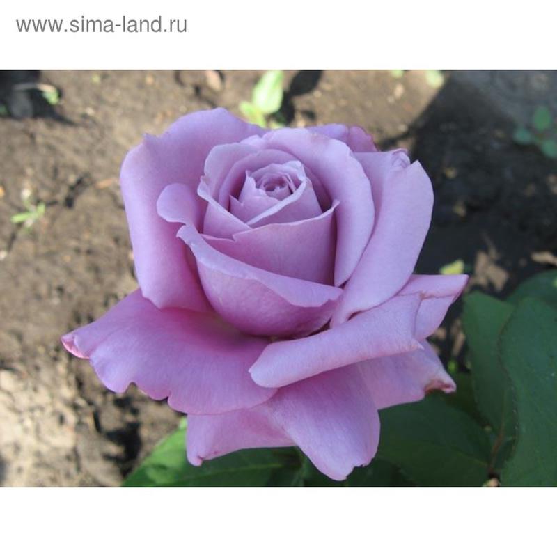 Саженцы роз - Фото 5