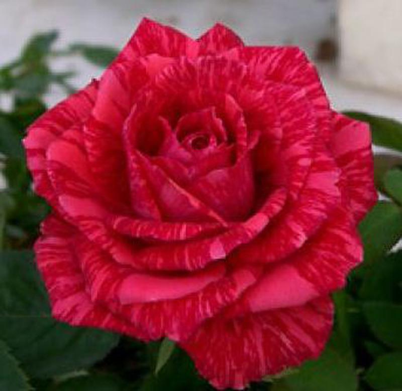 Саженцы роз - Фото 9