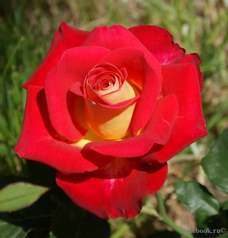 Саженцы роз - Фото 10
