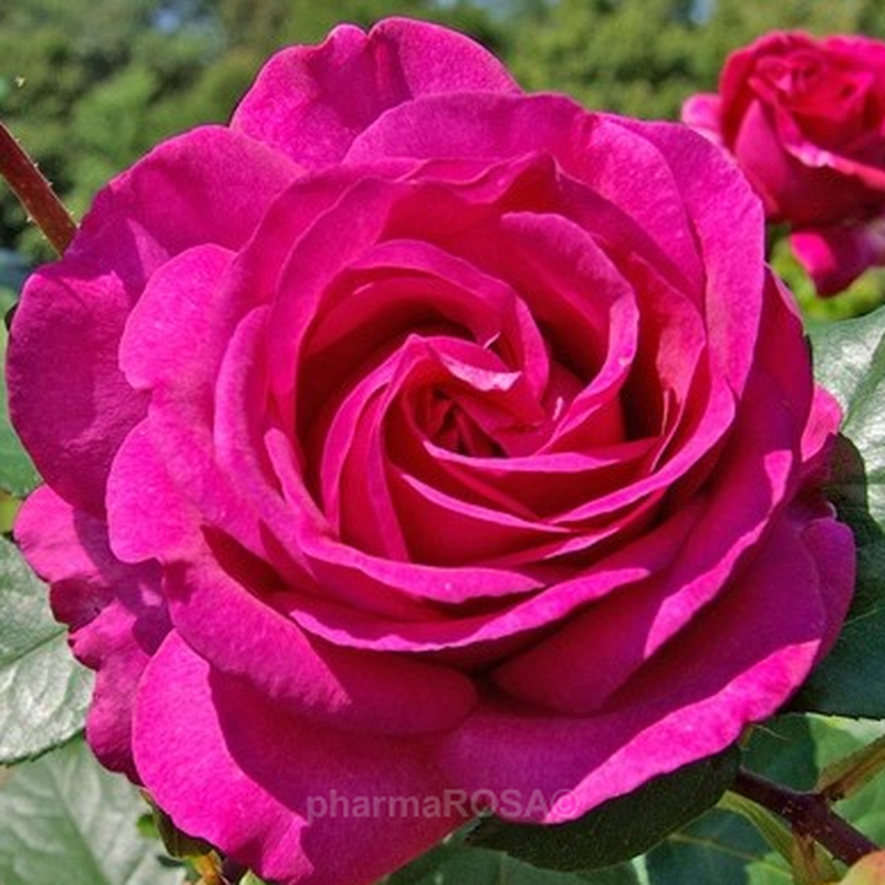 Саженцы роз - Фото 11