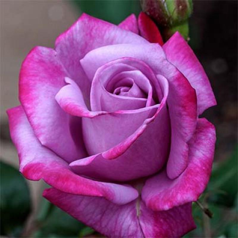 Саженцы роз - Фото 12