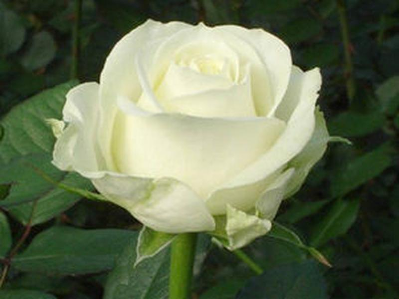 Саженцы роз - Фото 14