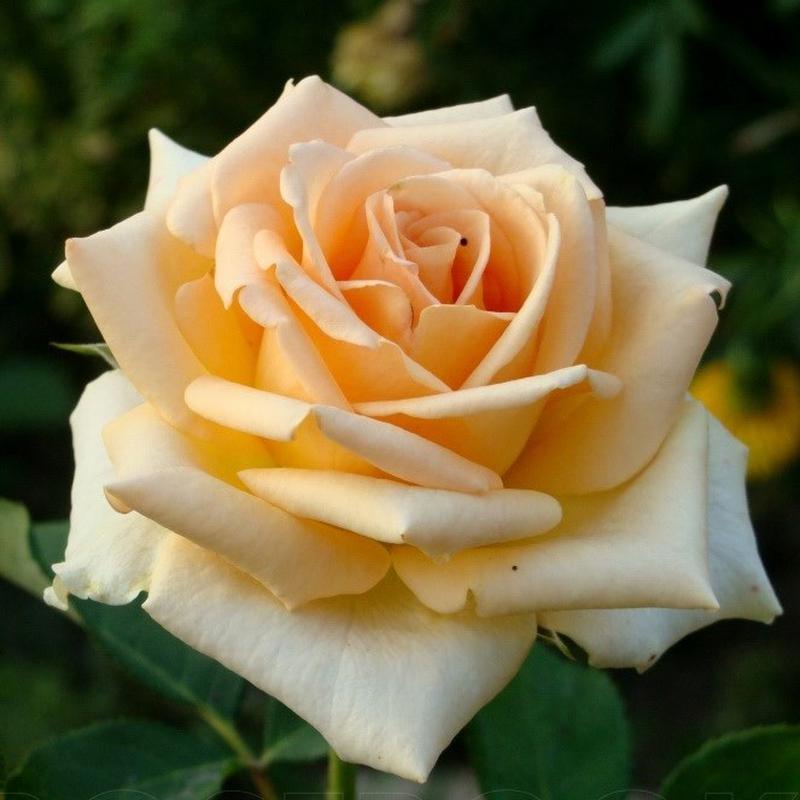 Саженцы роз - Фото 15