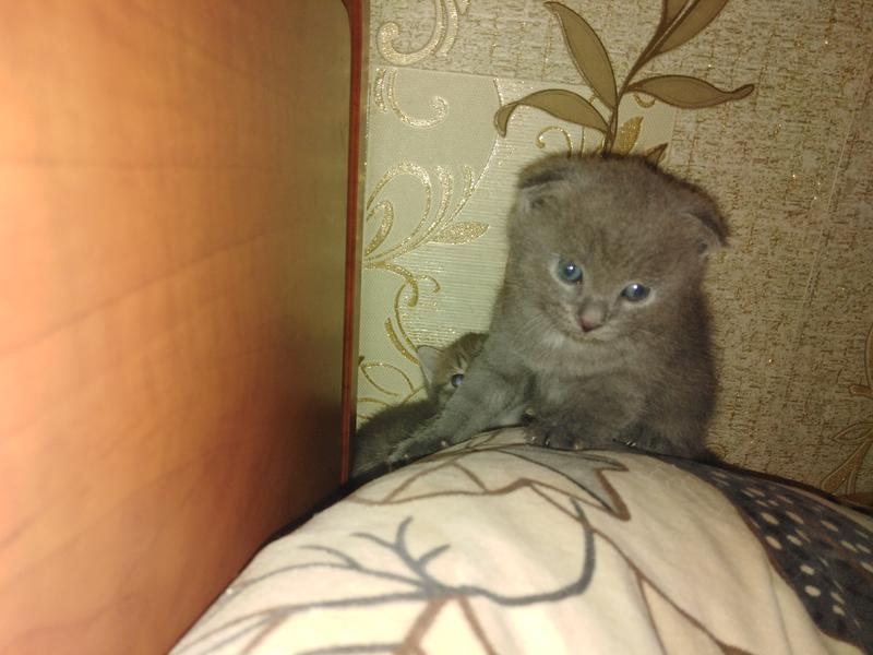 Котята британцы - Фото 2