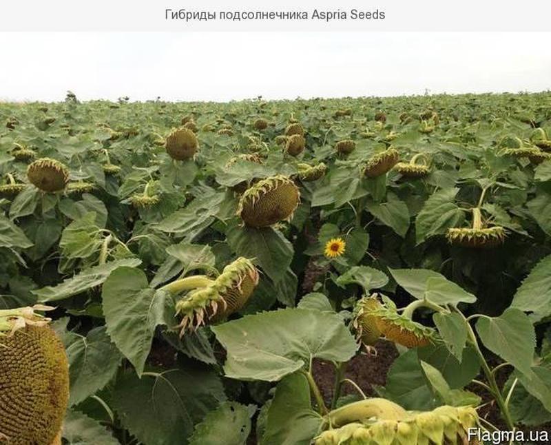 Гибриды подсолнечника Aspria Seeds