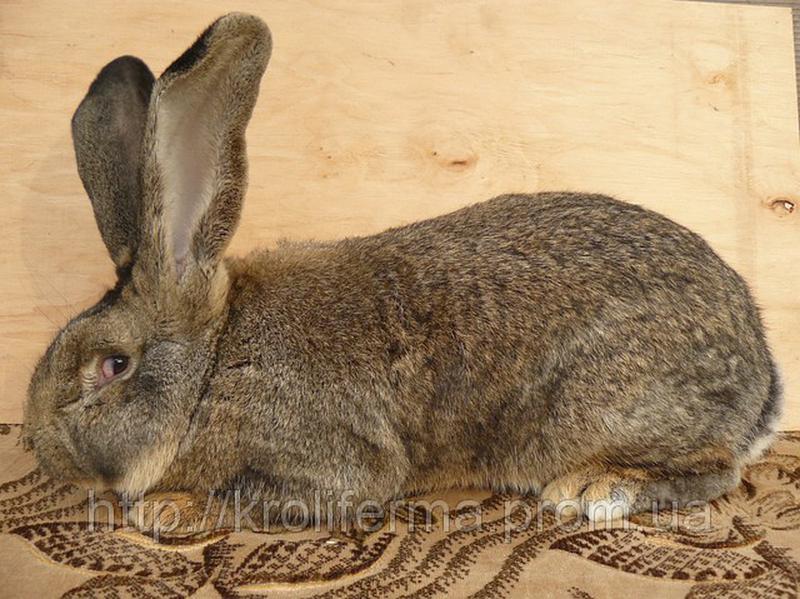Кролики домашние, крупные, пара. Не дорого!