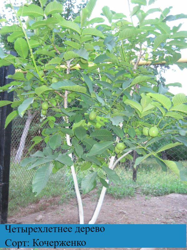 Привитые саженцы грецкого ореха - Фото 3