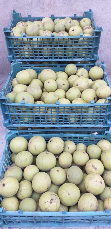 Плоды уникального дерева чёрного ореха.