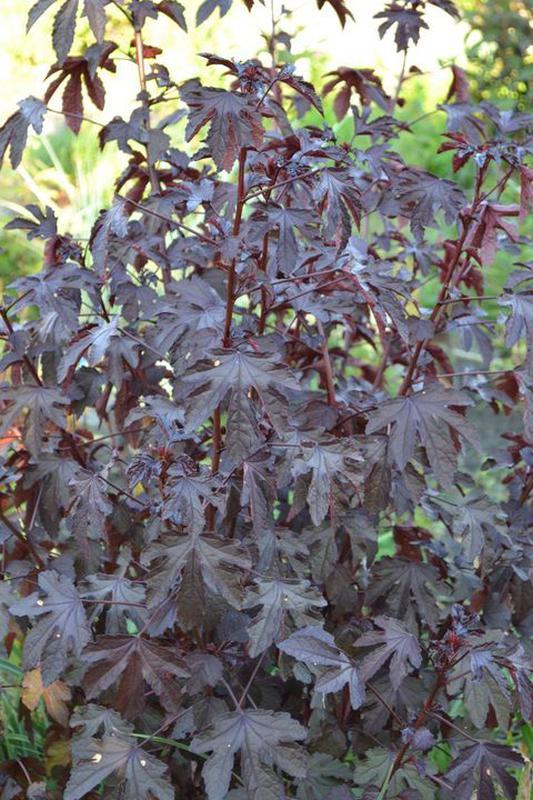 Гибискус разных сортов и другие растения - Фото 5