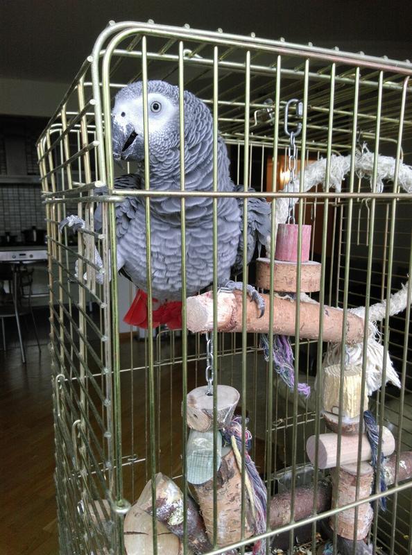 Присмотрю за попугаем Жако