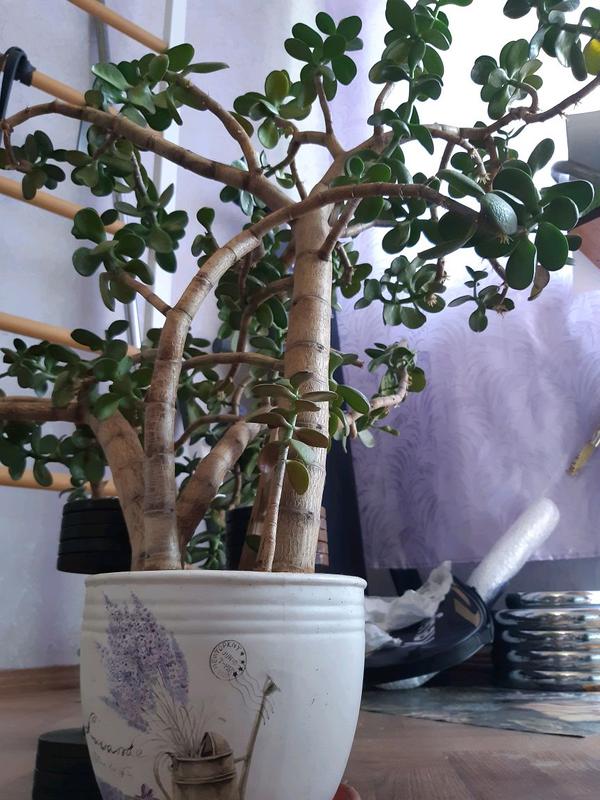 Толстянка Хлебное дерево
