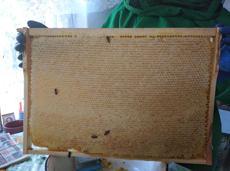 Мед з золотарника - Фото 5